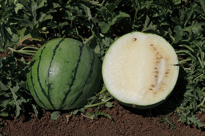 OP Melons, Cucumbers and Watermelons