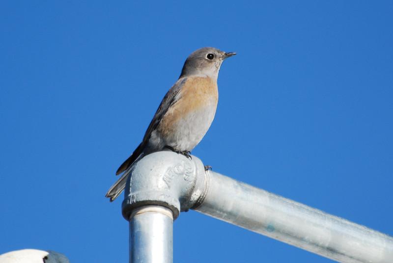 Western Bluebird (3).JPG