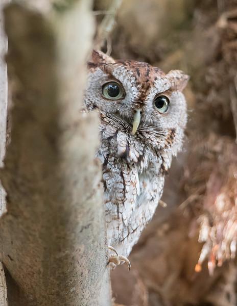 Screech Owl-6303.jpg
