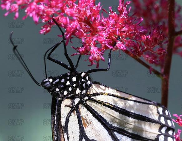 Monarch; Milkweed Butterfly; Wanderer  (Danaus plexippus).