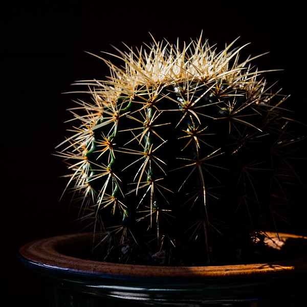 Cactus ball-8531.jpg