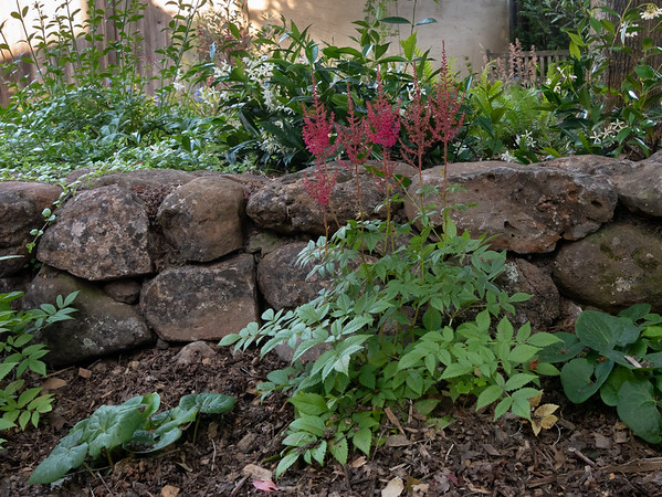 12 June 2017.  June was the month for the Astilbe.  You can see the future here too with the yerba buena already running over the wall and the star jasmine beginning to creep in that direction.  The wall is going to be topped by running plants.  (Gambelia too for that matter.)