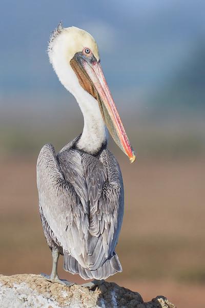 Brown Pelican at Elkhorn Slough