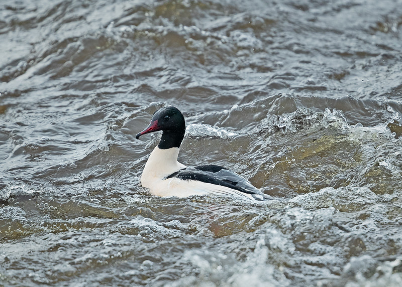 Goosander (male) feeding in the surf