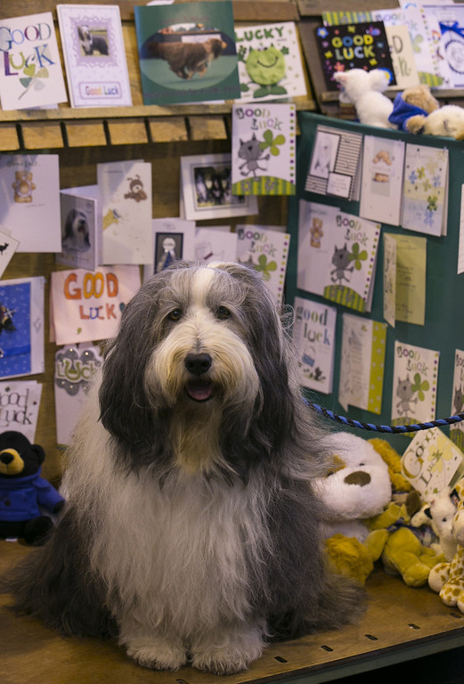 . Braur, a Bearded Collie dog sits in his card adorned kennel on the first day of Crufts dog show at the NEC on March 6, 2014 in Birmingham, England. Said to be the largest show of its kind in the world, the annual four-day event, features thousands of dogs, with competitors traveling from countries across the globe to take part. Crufts, which was first held in 1891 and sees thousands of dogs vie for the coveted title of \'Best in Show\'.  (Photo by Matt Cardy/Getty Images)