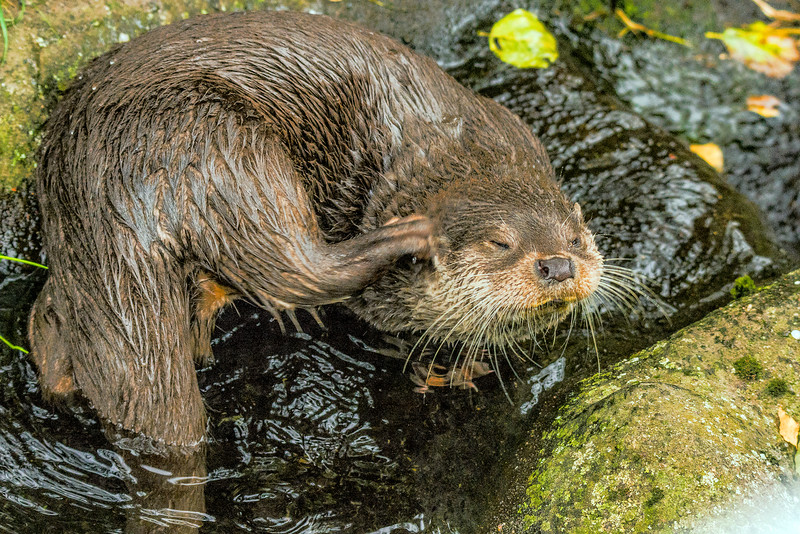 Eurasian otter - Saukko - Lutra lutra