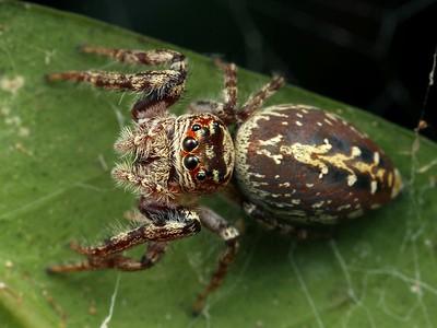 genus Opisthoncus