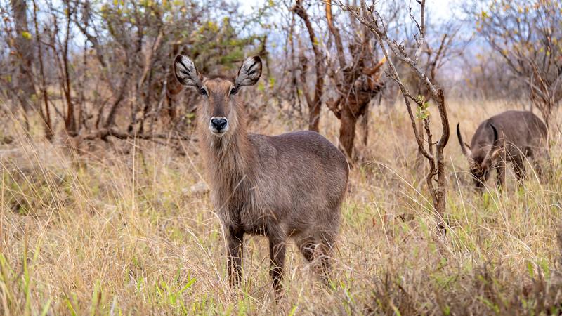 Tanzania-Tarangire-National-Park-Safari-Waterbuck-02.jpg