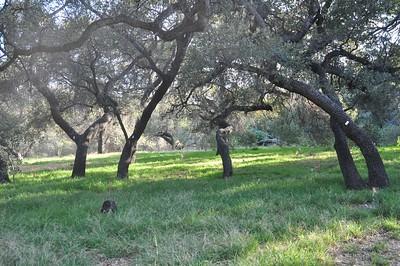 Englemann Oak Grove