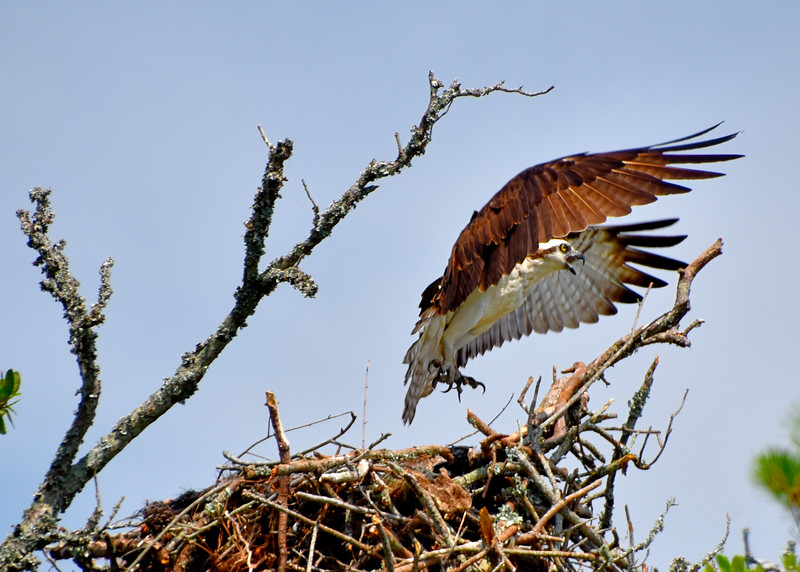 Osprey8-North-Carolina-Outer-banks.jpg