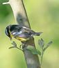 magnolia warbler male feeding