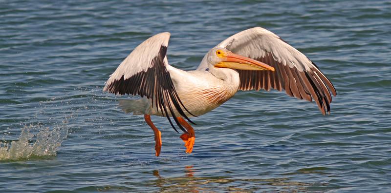 WB~pelicanflightaug101280.jpg