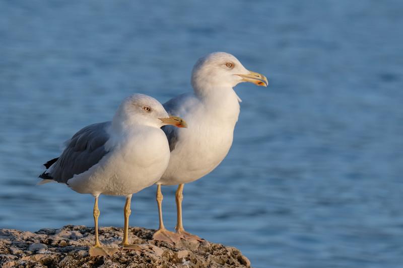 mewa romańska   yellow-legged gull   larus michahellis