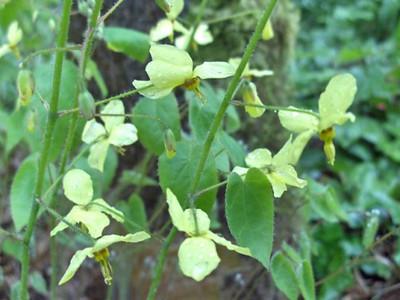 Epimedium pinnatum ssp. colchicum close-up
