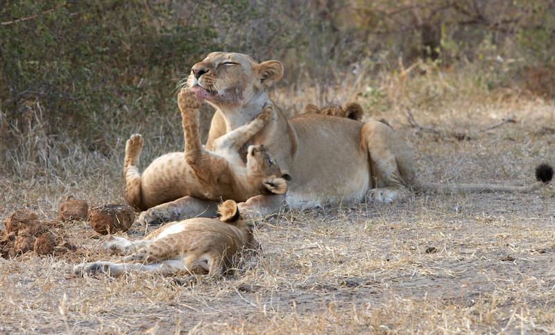 Lions - 6585.jpg