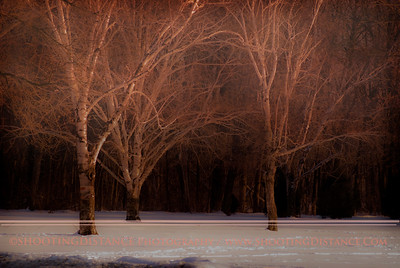 Winter Birches, Southeastern Wisconsin