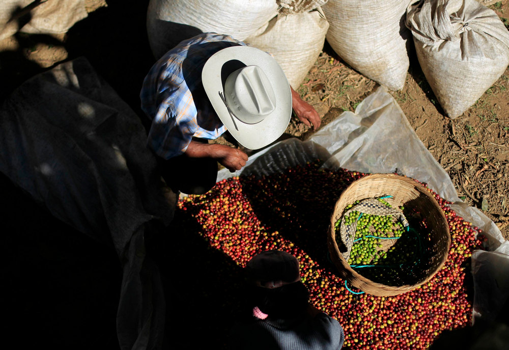. Workers clean and sort freshly harvested coffee beans at the Santa Adelaida coffee cooperative in La Libertad, on the outskirts of San Salvador December 10, 2012. Once a family-owned coffee plantation split under a 1980 land reform, the Santa Adelaida coffee is now a cooperative dedicated to the production of organically-grown high ground coffee, which is certified by non-governmental organization Rainforest Alliance, and exported to Germany, the U.S., Britain and Japan. The coffee plantation is currently run by a cooperative of over 150 members. Picture taken December 10, 2012. REUTERS/Ulises Rodriguez