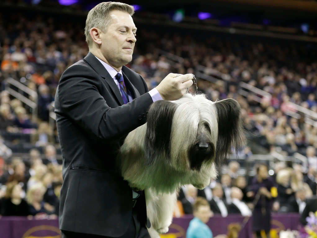 . A handler carries Charlie, a Skye terrier, to the judging table at the Westminster Kennel Club dog show Tuesday, Feb. 17, 2015, in New York. (AP Photo/Frank Franklin II)
