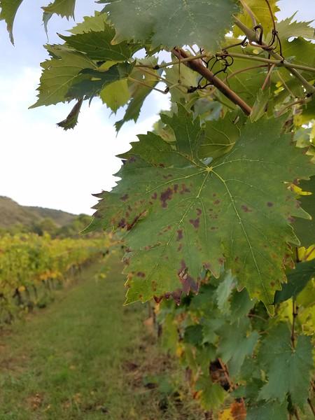vineyard_la_parrina.jpg