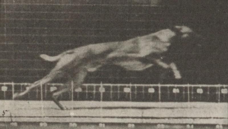 Dog Ike galloping
