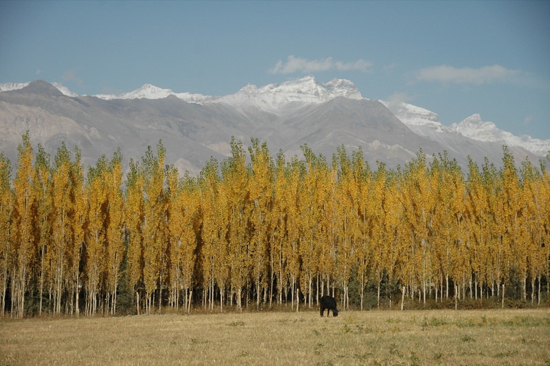 Autumn Leaves and Mountains - Wakhan Valley, Tajikistan