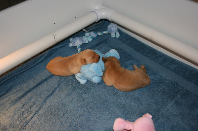 Second Week with the Puppies