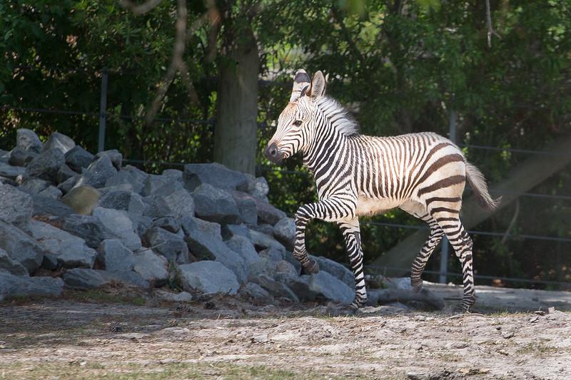 zebra baby 2-0353.jpg