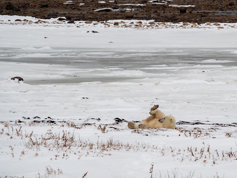 Polar bear yoga