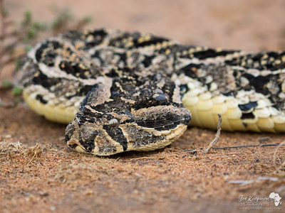 Puff Adder Close up