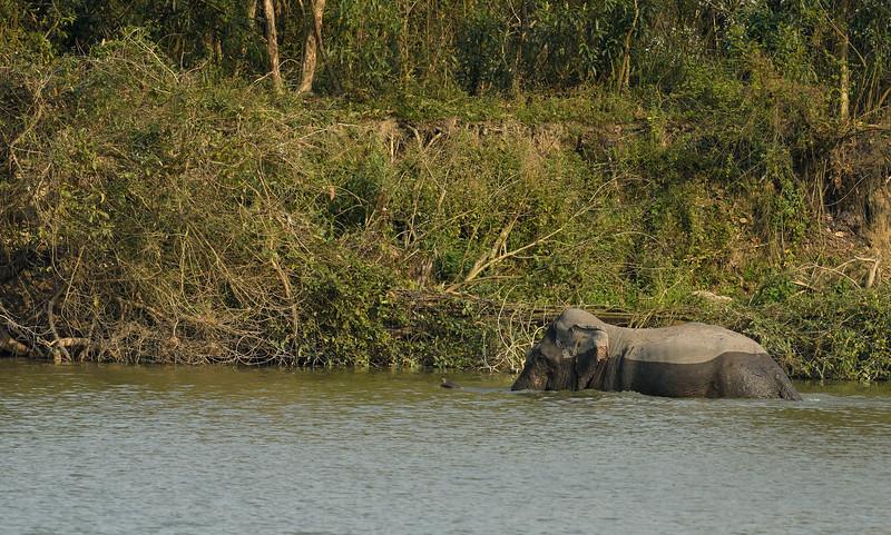 Elephant-swimming-across-lake-kaziranga-3.jpg