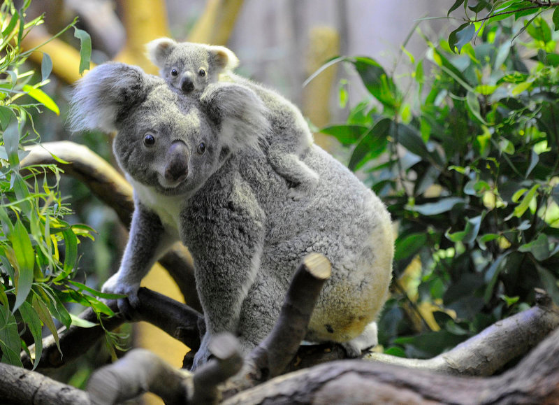 . Female Koala Goonderrah climbs with her still nameless baby girl on her back in their enclosure at the zoo in Duisburg, western Germany, on December 21, 2011. The baby animal was born in May 2011 and has left her mother\'s pouch in the meantime. The zoo in Duisburg is the only zoo in Germany that keeps koalas. The first koalas arrived from the San¬�Diego Zoo in 1994 and over a dozen baby koalas have been successfully bred in Duisburg.     MARIUS BECKER/AFP/Getty Images)