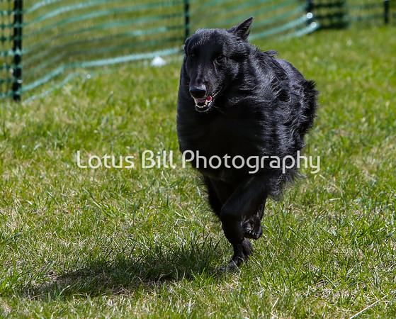 Belgian Sheepdog DH