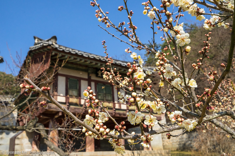 Toegye's love of maehwa flower (매화) is well-known