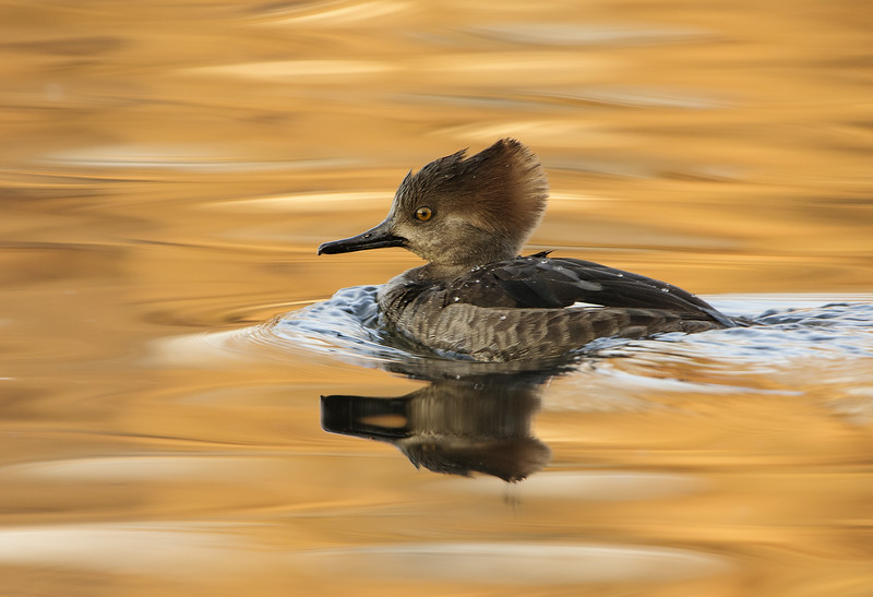 Hooded Merganser - Hen