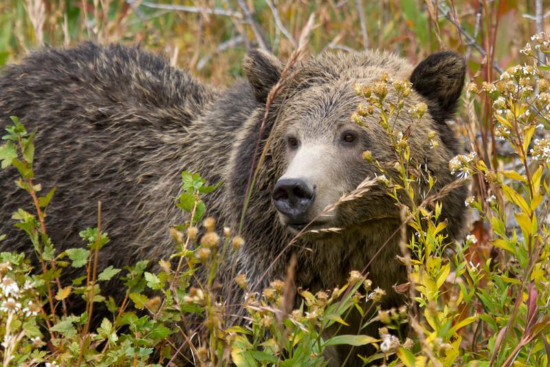 grizzly bear0377.JPG