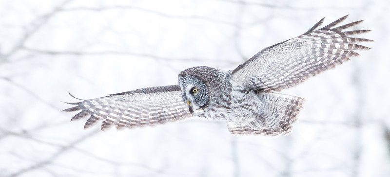 Great Gray Owl along CR5 just N of CR8 Extracted single video frame Sax-Zim Bog MN  IMGZ7747.jpg