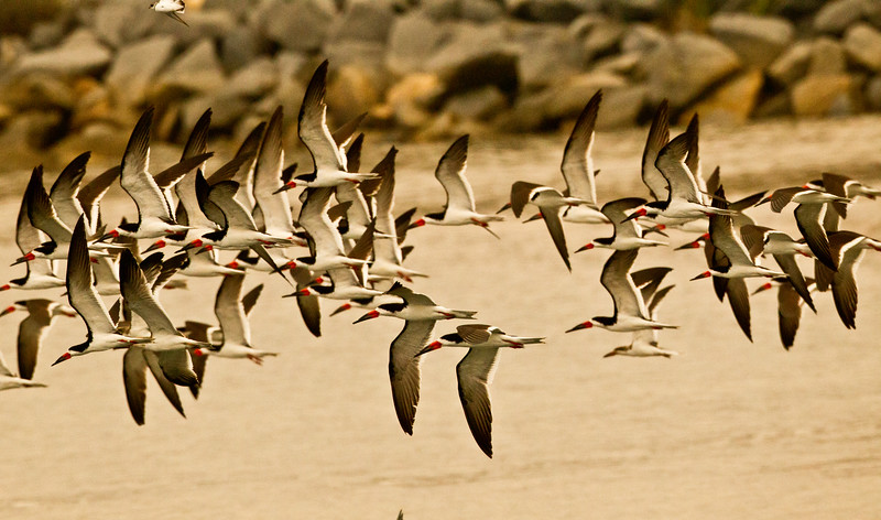 Black Skimmer Batiquitos Lagoon 2011 08 12-1.CR2