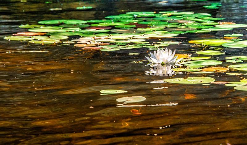 Lillies on pond2.jpg