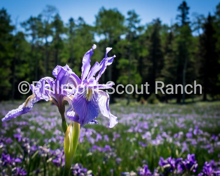 2017_FirstPlace_Plant Life_EvanWinter_Field of Iris_Lookout Meadow_58.JPG