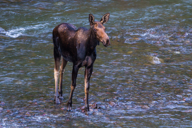 Young moose in the Lamar River