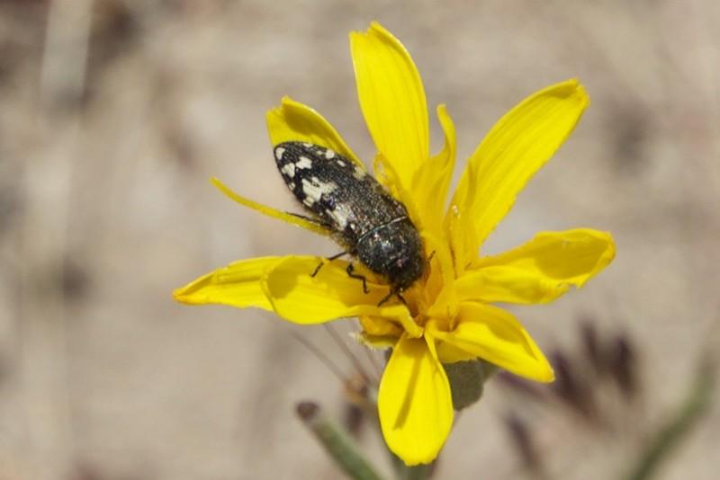desert yellow fly 5 x 7