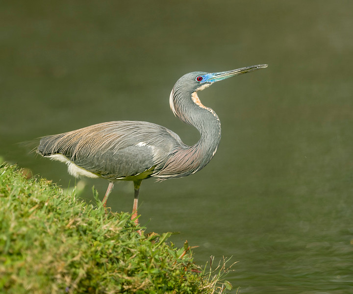 Tricolor heron hunting