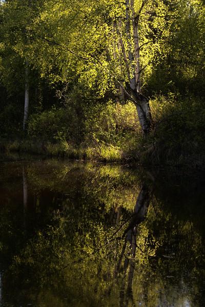 Birch Reflection