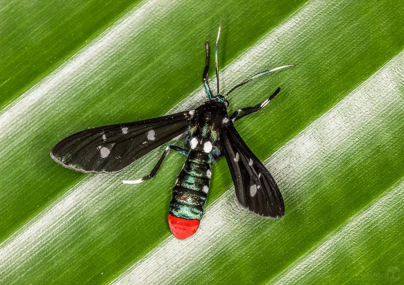 Polka-dot moth