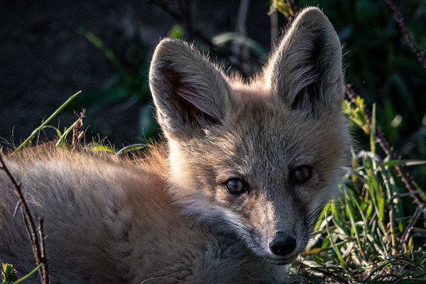 5-29-20 Red Fox - Cayley