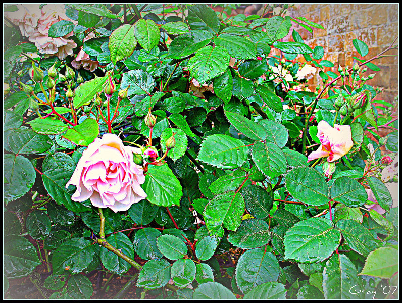 Roses in the Rain. Wroxton Abbey