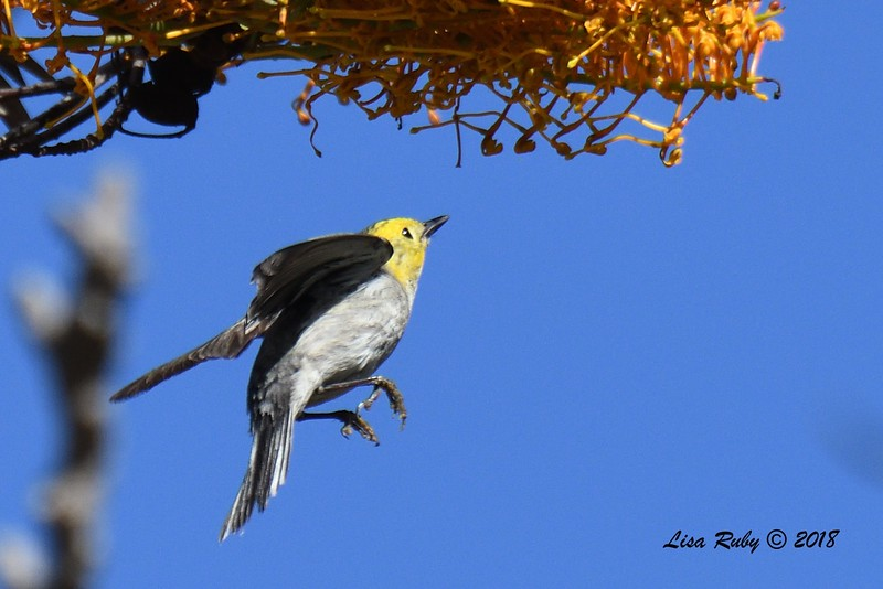 Hermit Warbler  - 5/6/2018 - Tijuana River Valley Bird & Butterfly Garden