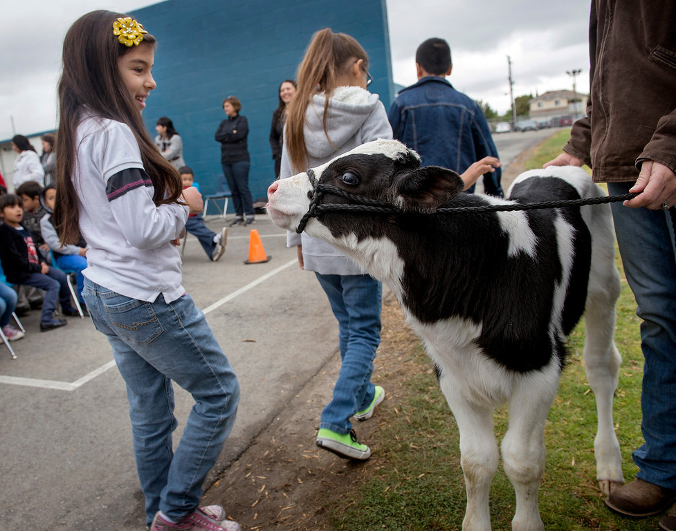 . Foster Elementary students walk by to pet three-day-old Holstein cow Crunch while learning all about cows and milk from the Dairy Counsel of California\'s Mobile Dairy Classroom instructor Laura LaFayette at the Baldwin Park campus April 15, 2013.   (SGVN/Staff photo by Leo Jarzomb)