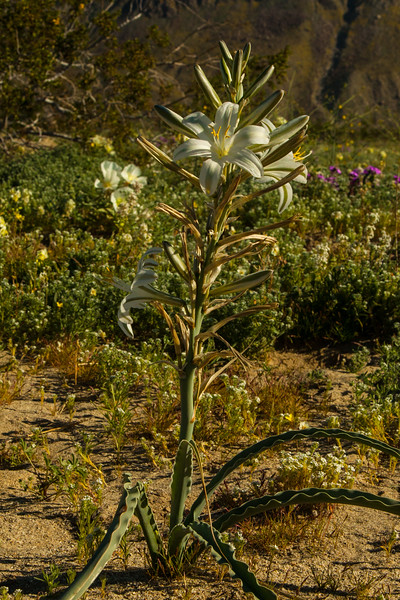 Desert Lily, Hesperocallis undulata. Anza Borrego State Park