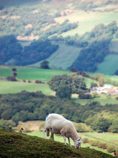 Mountaintop sheep